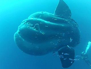 <i>Mola alexandrini</i> species of fish