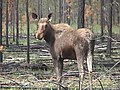Moose in burn area.jpg