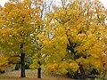 More golden beauty (30730697991).jpg