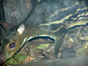 Chevrotain - Indian spotted chevrotain