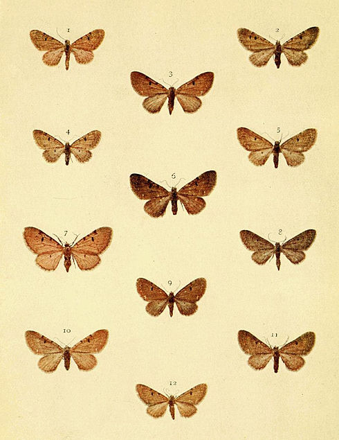 Moths of the British Isles Series2 Plate095.jpg