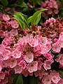 Mountain Laurel Kalmia latifolia Flowers 2448px.jpg