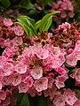 Mountain Laurel Kalmia latifolia Flowers 2448px.jpg