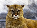 Mountain Lion at The Magnetic Hill Zoo, Moncton, New Brunswick, (38652953870).jpg