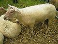 Mouton Charollais.JPG