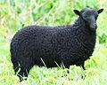 Mouton d'Ouessant âgé de 2 mois.jpg