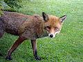 Mr Fox (5830011022).jpg