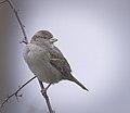 Mrs Sparrow (38538810026).jpg