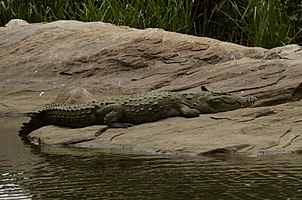 Mugger crocodile (Crocodylus palustris) from Ranganathittu Bird Sanctuary JEG4371.jpg