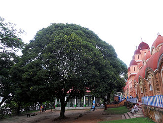 Shyamnagar, West Bengal - Great banyan tree in front of Kalibari
