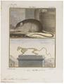 Mus rattus - met skelet - 1700-1880 - Print - Iconographia Zoologica - Special Collections University of Amsterdam - UBA01 IZ20500069.tif