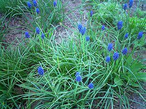 Muscari armeniacum - Image: Muscari armeniacum