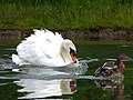Mute Swan attacking Mallard Family (7617017146).jpg