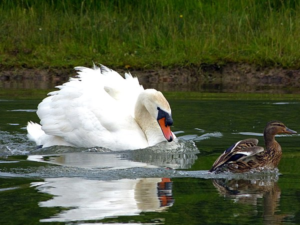 Mute Swan attacking Mallard Family (7617017146).jpg