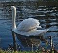 Mute swan on étang Tenreuken (DSCF2637).jpg