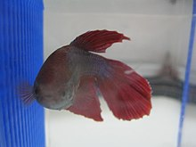 Betta wikipedia for How often do i feed my betta fish