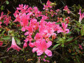 My Public Lands Roadtrip- O.H. Hinsdale Rhododendron Garden in Oregon (19099924521).jpg