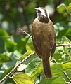Myiozetetes cayanensis (Suelda crestinegra) - Flickr - Alejandro Bayer.jpg