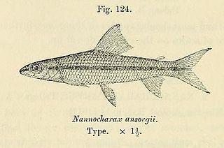 <i>Nannocharax</i> genus of fishes