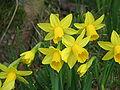 Narcissus Tête-à-Tête closeup.jpg