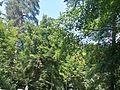 Naturdenkmal 63 im OT Hütteldorf.jpg