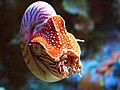 Nautilus pompilius at Monterey Bay Aquarium 2014-2.jpg
