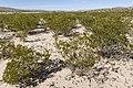 Near Cornucopia Draw - Flickr - aspidoscelis (6).jpg