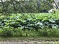 Nelumbo nucifera in north moat of Fukuoka Castle 14.jpg
