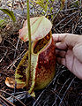 Nepenthes rafflesiana opening pitcher.jpg