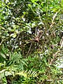 Nephila clavipes L.jpg