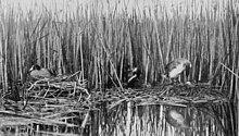 plaque d'un livre, avec une photographie monochrome des deux nids, qui flottent sur l'eau devant des roseaux, et se touchent presque