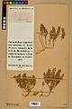 Neuchâtel Herbarium - Alyssum alyssoides - NEU000021954.jpg