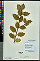 Neuchâtel Herbarium - Ilex aquifolium - NEU000027836.jpg