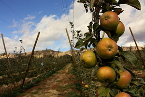 """Johnny Appleseed - A variety called the """"Johnny Appleseed"""" is similar to these Albemarle Pippins, good for baking and apple sauce."""
