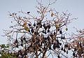 Ngezi forest-Bats.jpg