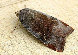Noctua (moth) - Noctua janthe