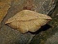 Noctuid Moth (Hypopyra sp. ?) (12951570033).jpg