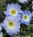Nolana acuminata (8718041004).jpg