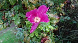 North Seattle College - Nootka Rose (Rosa Nutkana), North Seattle College