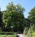 Nordborchen - Hainbuche am Mallinckrodthof.jpg