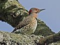 Northern Flicker male Yellow-shafted RWD.jpg