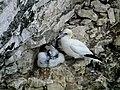 Northern Gannet with Chick, Bempton Cliffs (1).jpg