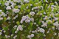 Northern Spiderhead (Serruria fucifolia) (32927402486).jpg