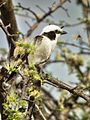 Northern White-crowned Shrike Eurocephalus ruepelli in Tanzania 0932 Nevit.jpg