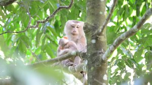 File:Northern pig-tailed macaque, Macaca leonina - khao yai national park.webm
