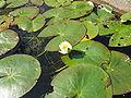 Nymphaea tetragona1.jpg