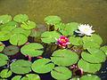 Nymphaeas, rosaleda del parque del Oeste.jpg