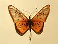 Nymphalidae - Acraea pseudegina.JPG