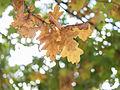 Oak leaves (8105225324).jpg