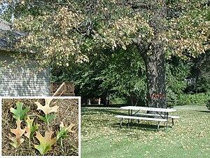 Photograph of oak wilt symptoms